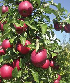 Specific apple replant disease apple tree