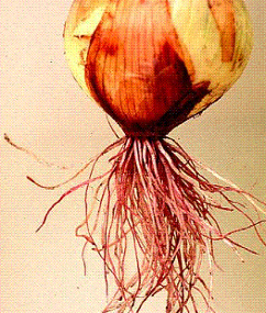An onion suffering from pink root (phoma terrestris)