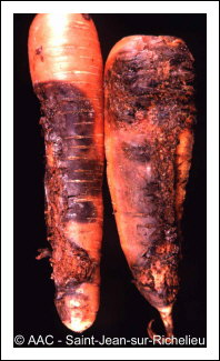 Signs of violet root rot