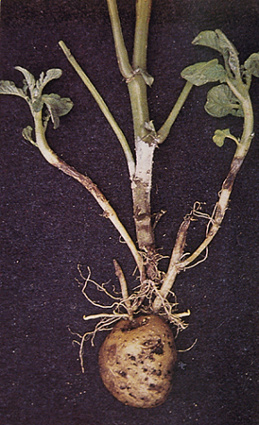 A potato suffering from Black Scurf & Cankers (Rhizoctonia Solani)