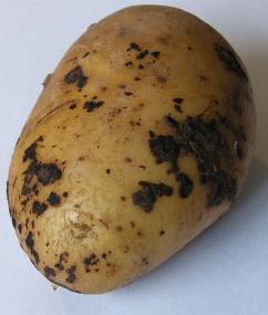 A potato suffering from Black Scurf (Rhizoctonia Solani)