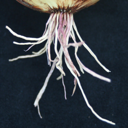 Pink Root Disease