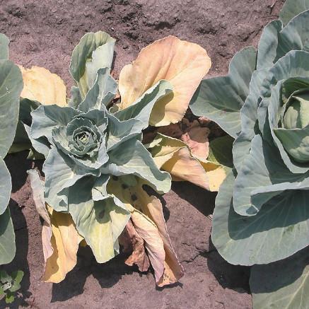 Brassica Fusarium Wilt