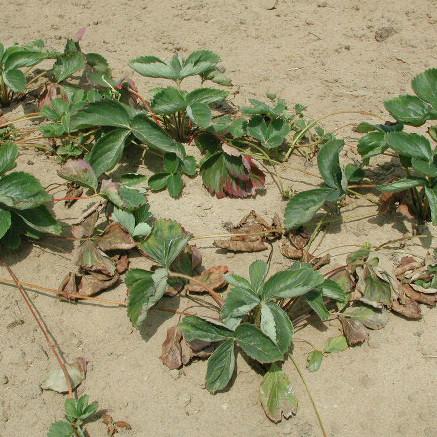 Strawberry Verticillium Wilt