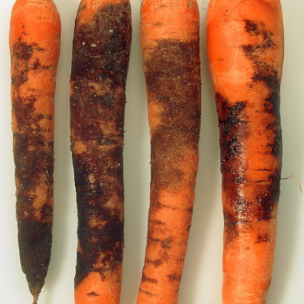 Violet Root Rot