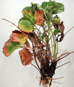 Strawberry suffering from Crown Rot (Phytophthora Cactorum)